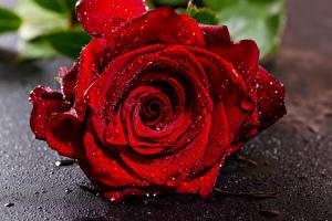 Fotos Rosen Großansicht Rot Tropfen Blüte