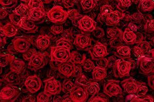 Fotos Rose Textur Viel Rot Blumen