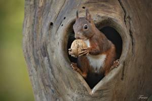 Desktop hintergrundbilder Hörnchen Nussfrüchte Walnuss Tiere