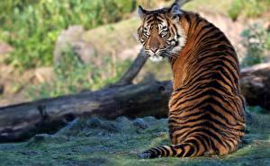 Hintergrundbilder Tiger Sitzt Rücken Hinten Posiert ein Tier