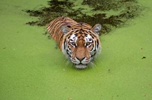 Photo Tigers Swims Swamp animal