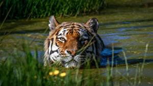 Pictures Tigers Water Head Swamp animal