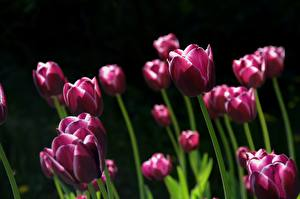 Photo Tulips Many Black background Violet Flowers