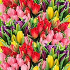 Pictures Tulip Many Multicolor Drops Flowers