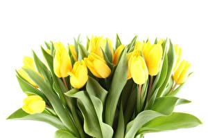 Hintergrundbilder Tulpen Viel Weißer hintergrund Gelb Blüte