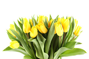 Wallpaper Tulip Many White background Yellow flower
