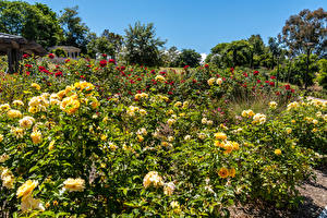 壁紙,美国,庭園,玫瑰,加利福尼亚州,灌木,South Coast Botanic Garden,大自然,