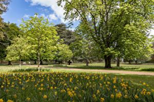 Fotos Vereinigtes Königreich Parks Narzissen Bäume Ascott House Gardens Natur