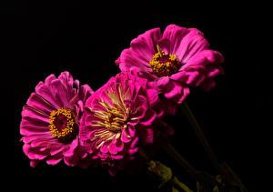 Fotos Zinnien Schwarzer Hintergrund Drei 3 Violett