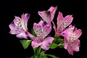 Bilder Inkalilien Nahaufnahme Schwarzer Hintergrund Violett Rosa Farbe