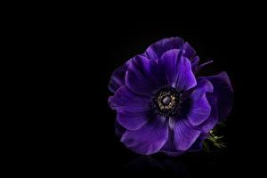 Bilder Windröschen Großansicht Schwarzer Hintergrund Violett