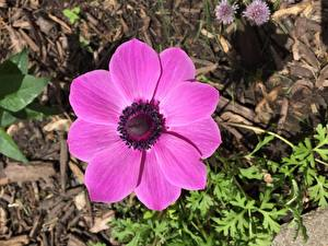 Fotos Anemone Hautnah Rosa Farbe Blumen