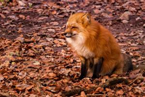 Wallpaper Autumn Foxes Leaf Sit Animals