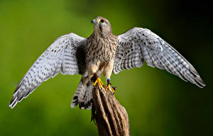 Bilder Vogel Bokeh Flügel European Kestrel Tiere