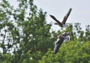 Fotos & Bilder Vögel Geese Zwei Flug Tiere