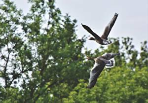 Pictures Birds Goose Two Flight animal