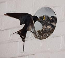 Bilder Vögel Schwalben Kücken Nest