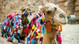 Hintergrundbilder Kamele Nahaufnahme Kopf