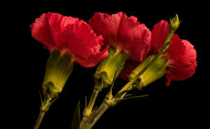Wallpaper Carnations Black background Three 3 Red flower