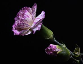 Photo Carnations Closeup Black background Flower-bud Violet