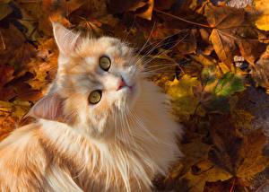 Papel de Parede Desktop Gato Outono Ver Folha Focinho Laranja vermelho animalia
