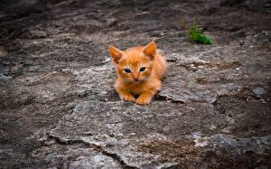 Bilder Hauskatze Orange rot Kätzchen Tiere