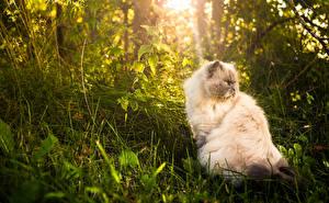 Bilder Katzen Perserkatze Gras