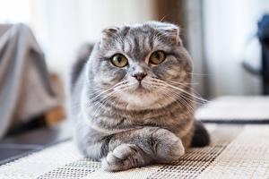 Bilder Katzen Schottische Faltohrkatze Blick