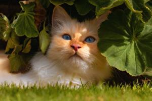 Fotos Hauskatze Schnauze Orange rot Blattwerk Tiere
