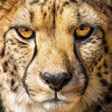 Photo Cheetah Macro Closeup Eyes Snout Nose Animals