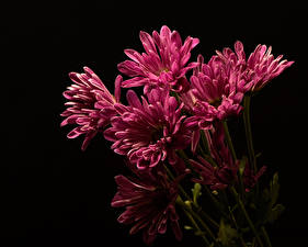 Wallpapers Chrysanths Black background Pink color Flowers
