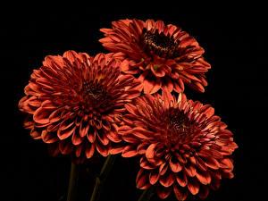 Bilder Chrysanthemen Großansicht Schwarzer Hintergrund Drei 3 Orange Blumen
