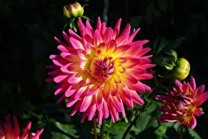 Pictures Closeup Dahlias Flower-bud flower