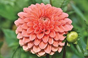 Pictures Closeup Dahlias Pink color flower
