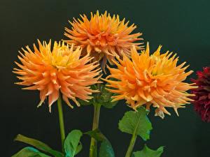 Pictures Dahlias Closeup Three 3 Orange Flowers