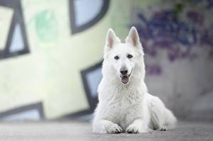 Bilder Hunde Liegt Weiß Shepherd Berger Blanc Suisse ein Tier