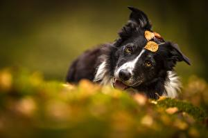 Fotos Hunde Border Collie Bokeh ein Tier