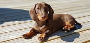 Photo Dogs Dachshund Puppies Wood planks Laying Brown Paws animal