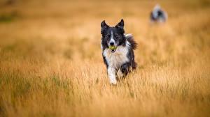 Hintergrundbilder Hund Acker Border Collie