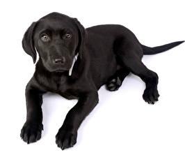 Fotos Hunde Labrador Retriever Welpe Weißer hintergrund Schwarz Starren Pfote ein Tier
