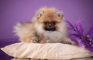 Fotos & Bilder Hunde Spitz Kissen Flaumig Tiere