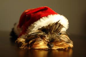 Fotos Hund Yorkshire Terrier Welpen Mütze Ruhen