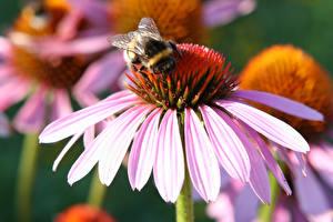Fotos & Bilder Purpur-Sonnenhut Großansicht Blütenblätter Rosa Farbe Bumblebee Blumen