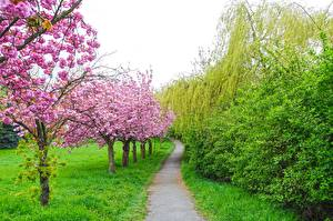 Pictures Gardens Flowering trees Spring Grass Path Cherry blossom Nature