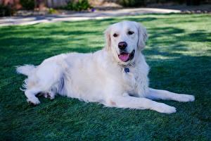 Image Golden Retriever Dogs Grass White Lying down Paws animal