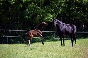 Hintergrundbilder Pferde Jungtiere Gras 2 ein Tier