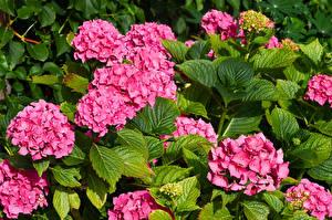 Фотография Гортензия Крупным планом Розовая Листья Цветы