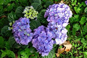 Fotos Hortensie Großansicht Violett