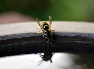 Pictures Insects Closeup Wasp Drinking water