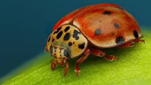 Pictures Lady beetle Closeup Macro photography Animals